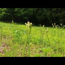 一面に広がる蕨の畑