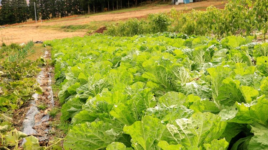 無農薬野菜!冬野菜の白菜