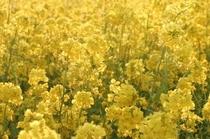 春は菜の花