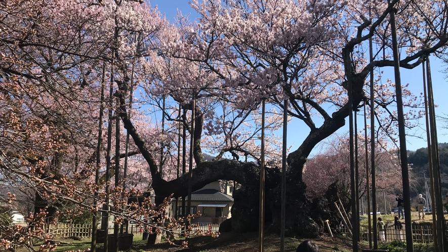 樹齢2000年山高神代桜