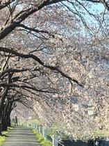 岡谷 横川の桜
