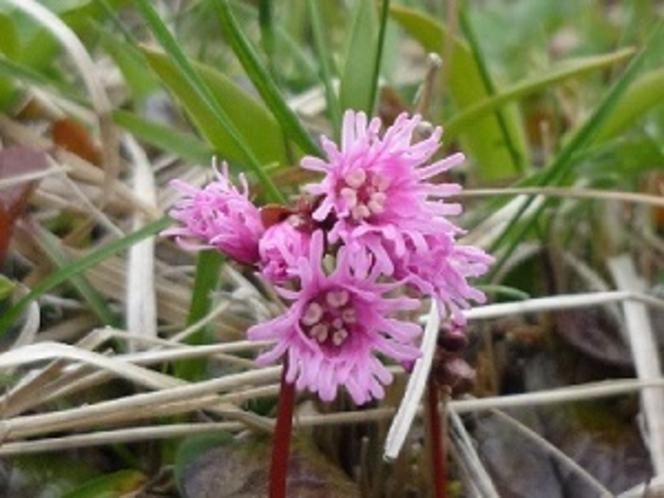 イワカガミの花