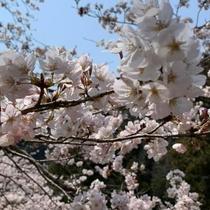 当館周辺の桜