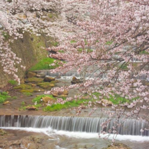【有馬川周辺の桜並木】当坊より徒歩8分。見ごろは4月上旬。約500本のソメイヨシノがお迎えします。