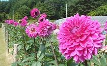 塙町の花ダリア
