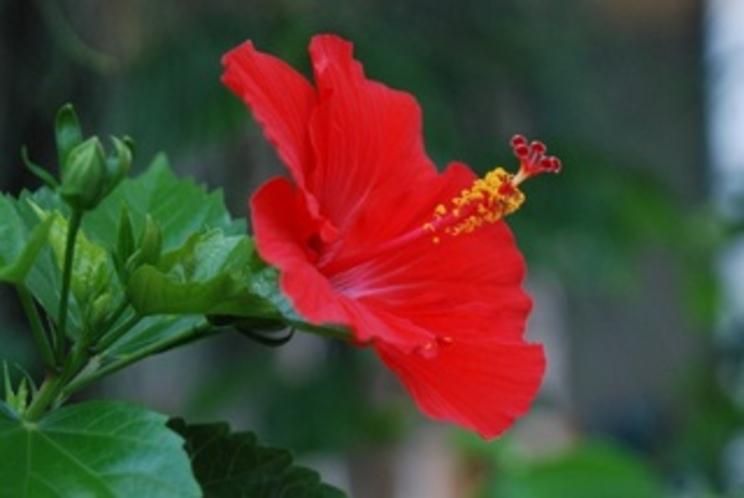 六角堂のあちこちに咲くハイビスカス