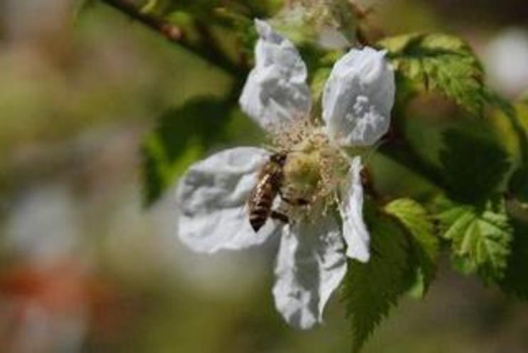 野イチゴの花と蜜蜂