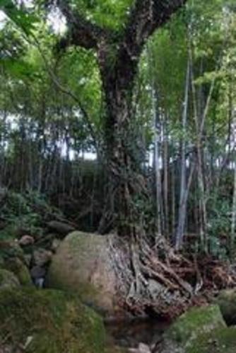 ホトー川の不思議な樹