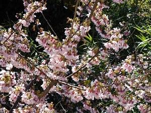露天風呂から見える早咲きの城ケ崎桜