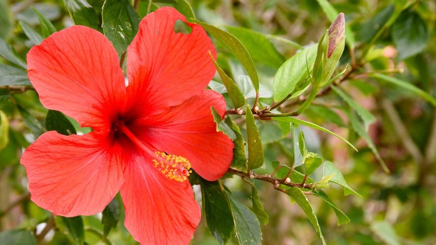 *周辺には、沖縄のはな「ハイビスカス」が咲いています。