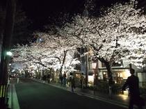 桜ライトアップ2