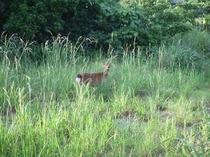 宿に遊びに来た屋久鹿