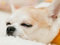 眠るチビ・ワンコ(全ての宿泊プランで客室まで小型犬同伴歓迎)