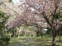 富山県森林研究所の桜