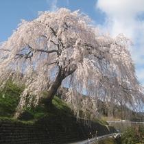 ◆【四美のしだれ桜】堂々と咲き誇る四美・岩太郎のしだれ桜