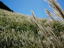 風になびくすすき草原のすすき