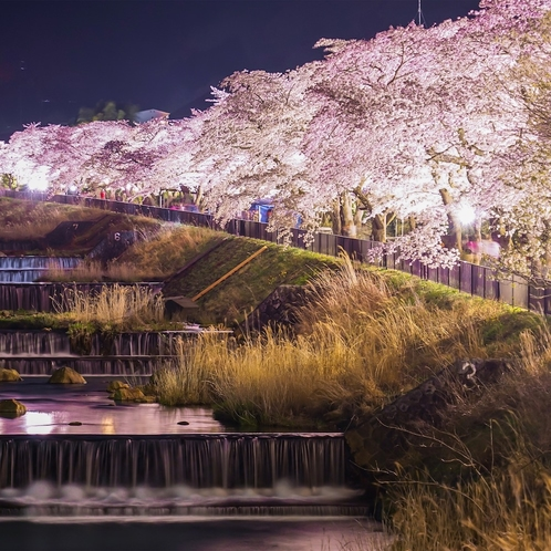 川の流れに映える宮城野の桜(ライトアップ)