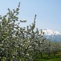 りんごの花 満開