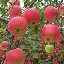 たわわに実った林檎