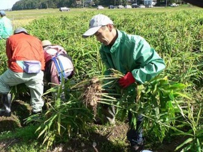 日光生姜の収穫