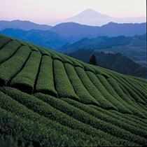 静岡市の茶畑