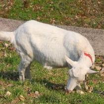 近所で飼われているヤギ