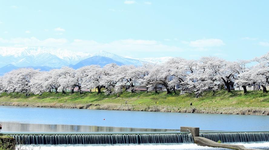 *【白石川堤 一目千本桜】1200本の桜のトンネルがお出迎え♪