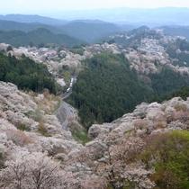 【吉野町】4月吉野山