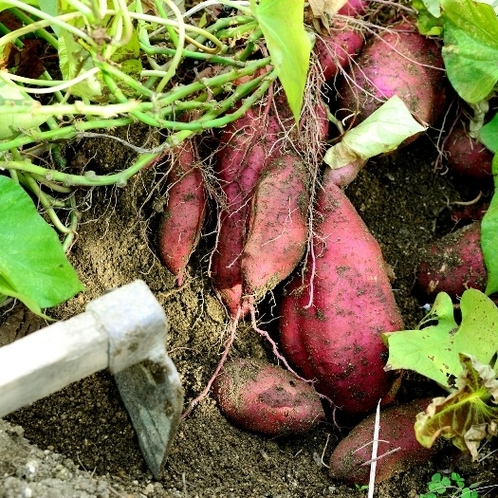 ☆黒滝野菜収穫1