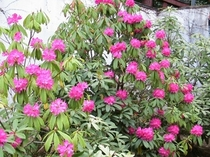 境内の西洋石楠花