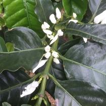 *コーヒーの花/白くて清楚な花へと育ちます。