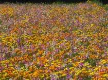 田んぼの花畑