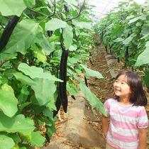 植木特産の日本一の長さを誇る「大長なす」