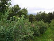 11. 施設内のブルベリー畑。今年も採りきれないほど実をつけました。