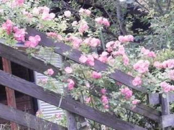 16. 薔薇(アンジェラ)が咲きました。
