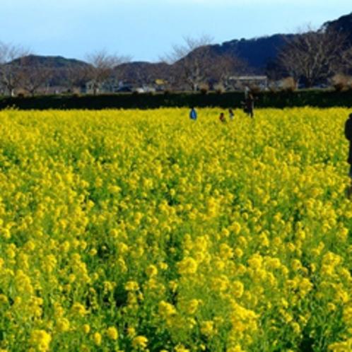 *【みなみの桜と菜の花まつり】河津桜と菜の花のコントラストを楽しむ。