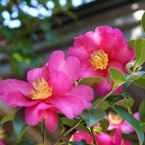 *冬は当館のお庭で立派なつばきが見事に花開きます。