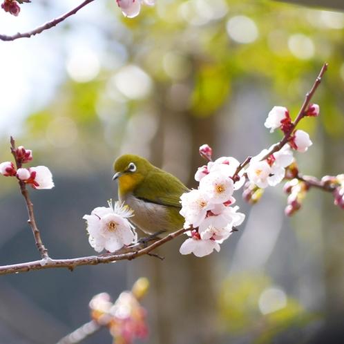 *当館の敷地では1月下旬頃から梅の花が開花いたします。