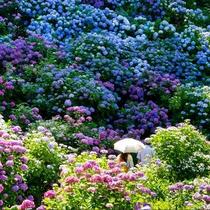 *15万株のあじさいの花々!日本一の規模を誇る下田あじさい祭