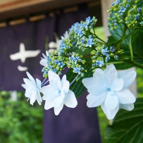 *紫陽花の季節には下田では6月に紫陽花祭りが開催されます。当館入口でも紫陽花がお出迎えいたします。