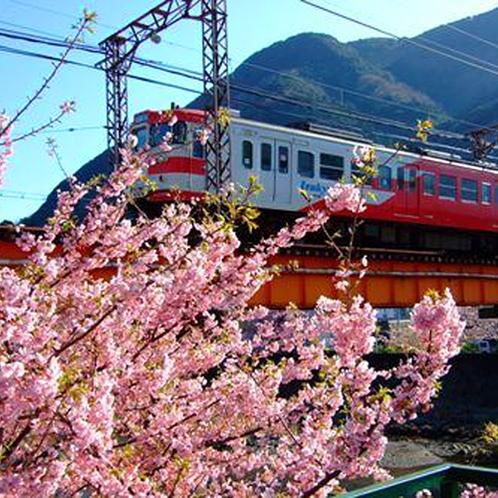 *伊豆の早春の一大イベント『河津桜まつり』は毎年2月上旬から3月上旬頃まで開催!
