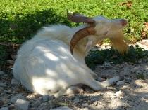 竹富島のヤギ