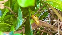 ホテル中庭で発見!!黄金に輝くオオゴマダラの蛹