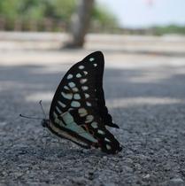 温暖な島なので年中、蝶が飛びまわります。
