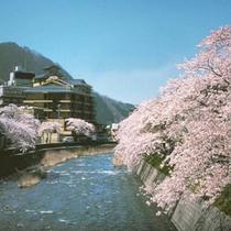 ●温海川沿いの桜