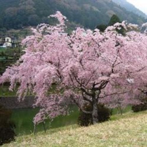 しだれ桜(丹沢湖)