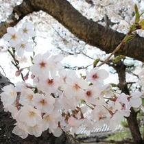 ★桜1.jpg
