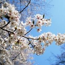 ★桜2.jpg