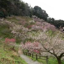 三隅神社 梅林