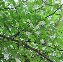 エゴの木の花